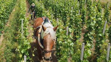 working with the horse in the Stockkultur vineyard